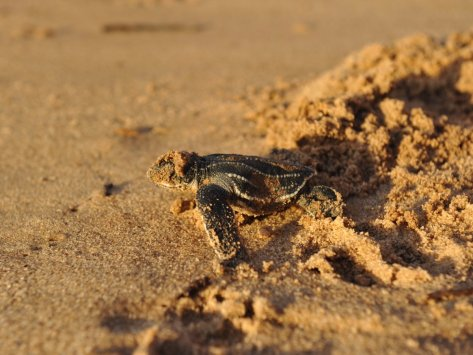 for-an-adventurous-experience-catch-the-turtles-nesting-at-shell-beach-in-guyana-its-an-incredible-sight--from-the-moment-the-turtles-sweep-away-the-sand-to-lay-eggs-to-when-the-hatchlings-dig-their-way-out-of-the-sand-to-the-sea